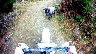 Download Angry ram attacks motorcyclist in the forest Video