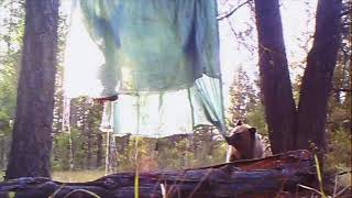 Download Grizzly bear Attacks Hunters Whitetail Deer Video