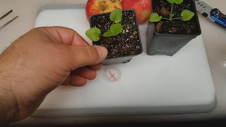 Download EASY WAY How to Grow an Apple Tree from Seed Video