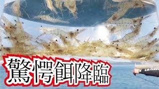 Download 【驚愕餌】堤防から生きエビの泳がせはとにかくでかいのばかり・・・ Video