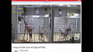 Download Elizabeth the Giraffe meets the family and goes outside at Topeka Zoo Video