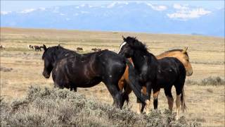 Download Wild Stallions fighting 2 Video