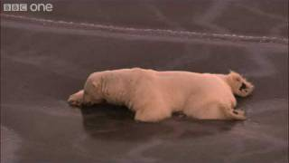 Download HD: Polar Bear on Thin Ice - Nature's Great Events: The Great Melt - BBC One Video