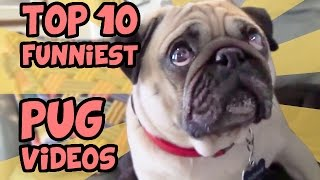 Download TOP 10 FUNNIEST PUG VIDEOS OF ALL TIME Video