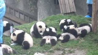 Download Baby Pandas, bottle feeding Video
