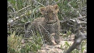 Download SafariLive Dec 20 - Leopard Thandi's cub outside the den! Video