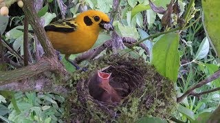 Download Breeding Birds of Tatamá - Colombia Video