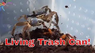 Download Crab eats anything! + Predatory Beetle & GBB Feeding Video