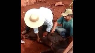 Download Capaçao de Porco″ Video