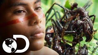 Download Hombres de tribu son picados por hormigas bala | Latinoamérica salvaje | Discovery Latinoamérica Video
