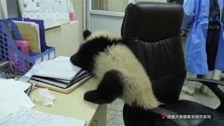 Download What will happen when a panda cub comes to your office? Video