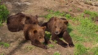 Download Brown Bear Cubs in Katmai National Park, Alaska - Matt Hirt Video