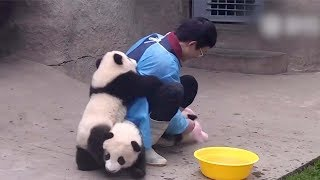 Download Cute alert! Giant panda cuddles with keeper during shower time Video
