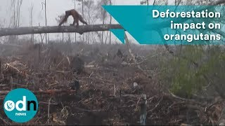 Download Newly released footage shows heart-breaking impact of deforestation on orangutans Video