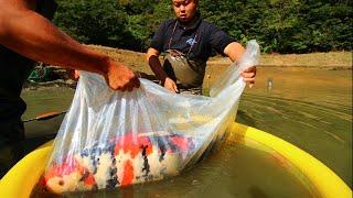 Download BIG KOI FISH HARVEST | MARUJYU KOI FARM Video