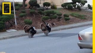 Download Why Are Turkeys Running Wild in These Neighborhoods? | National Geographic Video