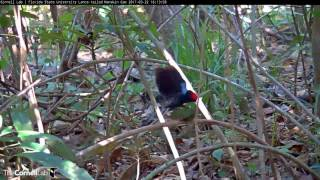 Download Active Afternoon Display and Copulation, 22 March 2017 on the Lance-tailed Manakin Cam Video