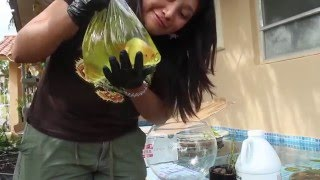 Download East Coast Ranchu Unboxing Goldfish (May 2016) Video