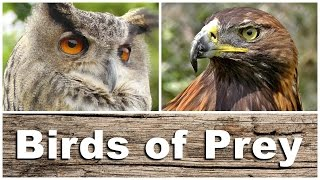 Download Birds of Prey - Kestrel, Sparrowhawk, Golden & Bald Eagle, Peregrine Falcon, Tawny Owl and More Video