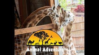 Download Oliver & Johari Giraffe Cam - Animal Adventure Park Video