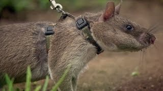 Download Rats Save Humans From Landmines - Extraordinary Animals - Series 2 - Earth Video