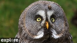 Download Great Gray Owl Nest powered by EXPLORE.org Video