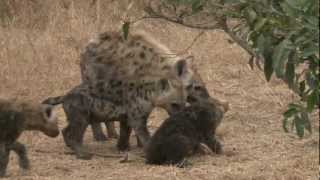 Download fighting hyena pups.mov Video