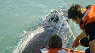Download Sea Shepherd Crew Save Humpback Whale Entangled in Illegal Gillnet Video