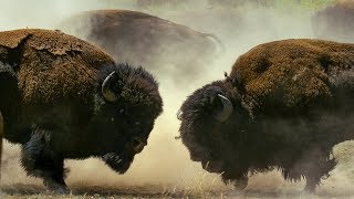 Download Male Bison Fight for Harem Rights | BBC Earth Video