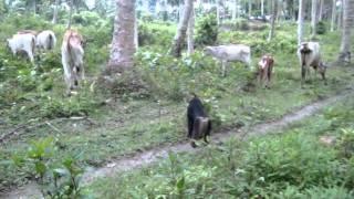 Download Kera Hutan penggembala Sapi di Sulawesi Tengah Video