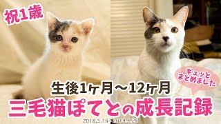 Download 【祝1歳】三毛猫ぽてと・生後1ヶ月〜12ヶ月の成長記録まとめ Video