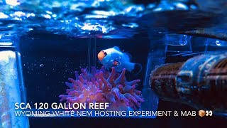 Download SCA 120 Gallon Reef | Ep.24 | Wyoming White Clown Fish Anemone Hosting Experiment Video
