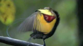Download Astounding Mating Dance Birds of Paradise - High Quality Video