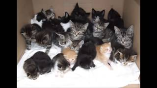 Download Cuidados postoperatorios felinas (castración, esterilizar) Video