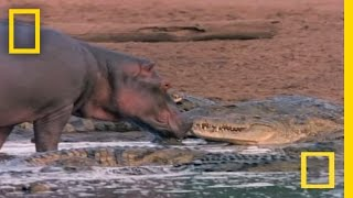 Download Hippo Licks Croc | National Geographic Video