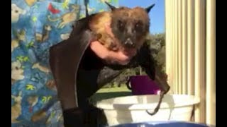 Download Senior flying-fox has a bath: this is Walter Video