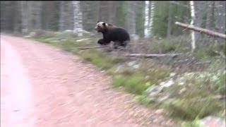 Download Björn går till attack Video
