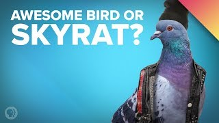 Download Pigeon Story: How the Rock Dove Became the Sky Rat Video