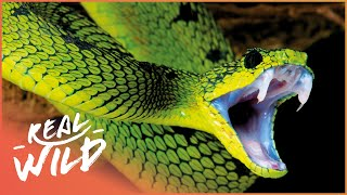 Download World's Deadliest Venom [Killer Snakes Documentary] | Wild Things Video