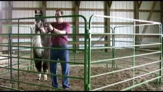 Download Approach, Halter, and Lead Your Camelids With Ease Video