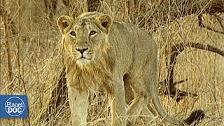 Download Asiatic Lion vs African Lion Video