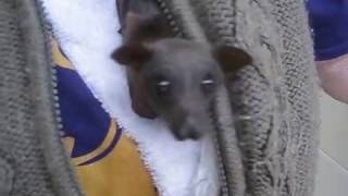 Download Cute baby bat stays warm in carers vest. Video