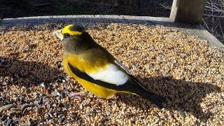 Download Evening Grosbeak Video