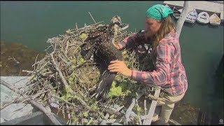 Download Audubon Hog Island Osprey Cam ~ Bailey Is Found Safe & Relocated to Boathouse Nest 7.29.17 Video