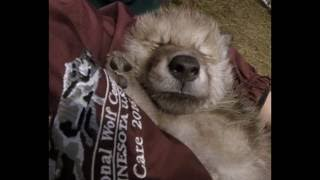 Download International Wolf Center - 30 May 2016 - The Wait is Over Video
