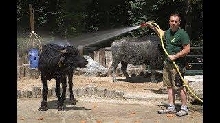 Download Schönbrunner Tierpfleger-Tagebuch #8: Sascha verwöhnt seine Wasserbüffel Video