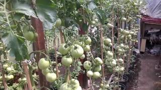 Download Pomidory amatorsko Video