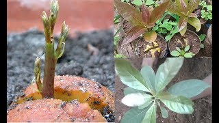 Download Growing Avocado : The best avocados to grow in your garden.. Video
