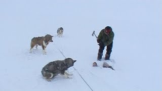 Download An Inuit quartering a seal to feed its sled dogs - Nanoq 2007 expedition Video