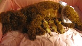 Download Adorable Caring Mother Toy Poodle & Her 1-Day-Old Puppies Video